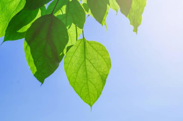 grüne blätter eines catalpabaums auf einem blauen hintergrundhimmel - trompetenbaum stock-fotos und bilder