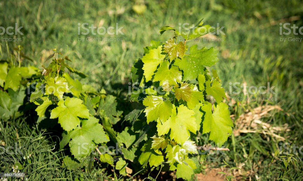 Green leaves of a young grape plant stock photo