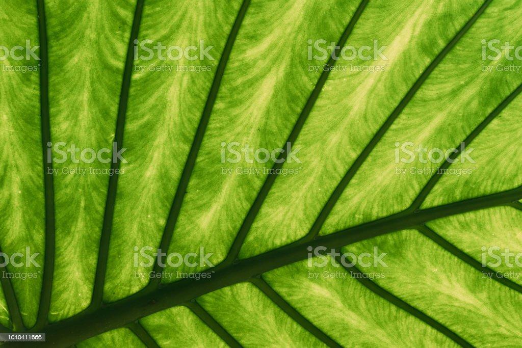 Feuilles vertes de Alocasia Macrorrhizos au jardin botanique - Photo