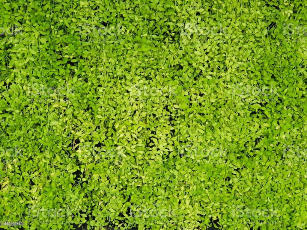 Green leaves of Asclepiadaceae or Dischidia nummularia Variegata stock photo