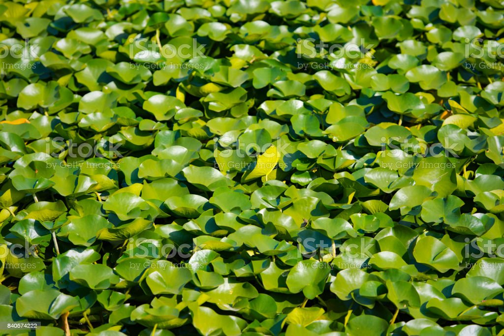 Green leaves of Asian water lily on a lake, background stock photo
