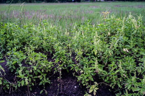 Folhas verdes de manjericão - foto de acervo