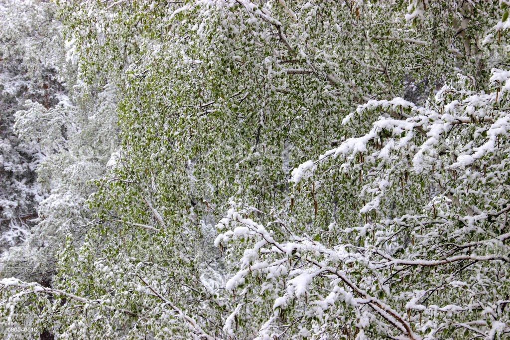 Groene bladeren van berken bedekt met sneeuw royalty free stockfoto
