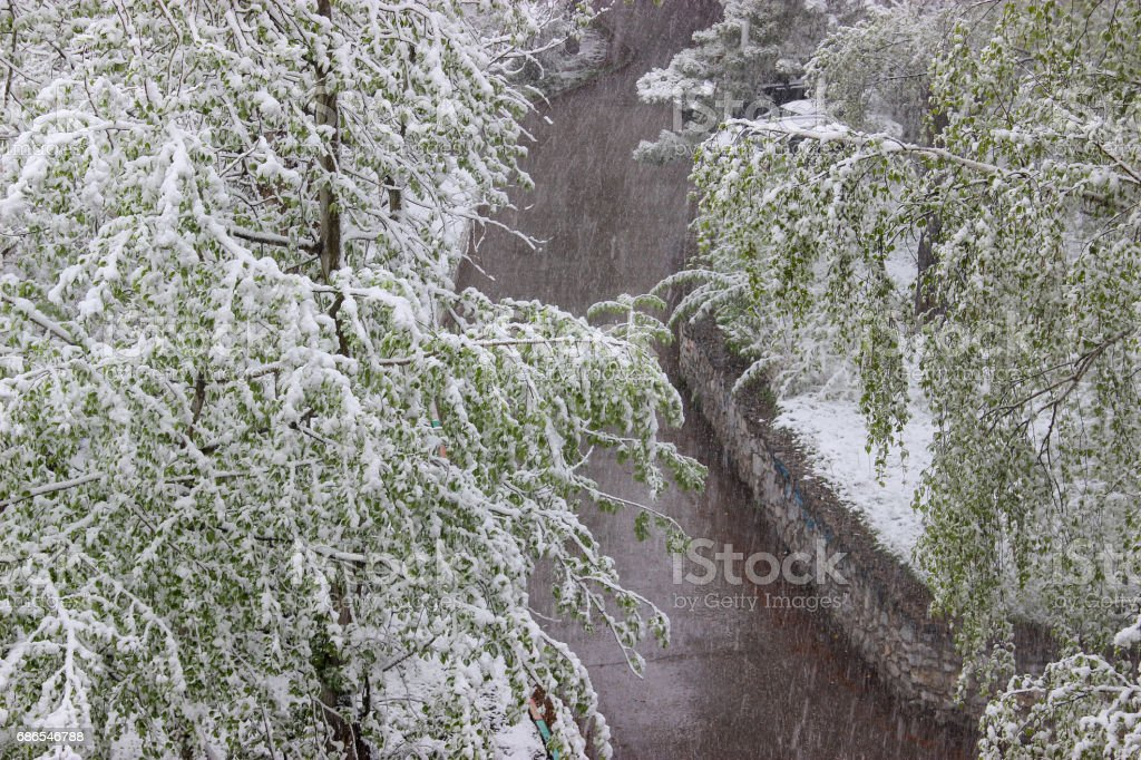 雪で覆われた白樺の緑を葉します。 ロイヤリティフリーストックフォト
