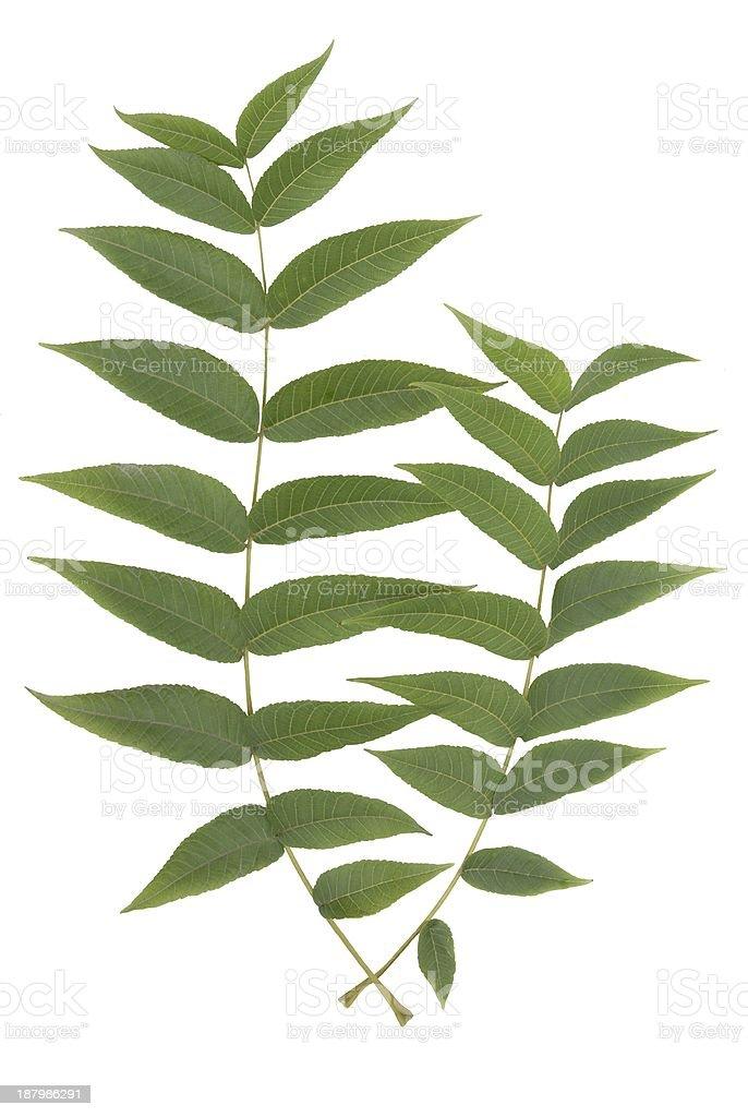 green leaves of black walnut tree stock photo