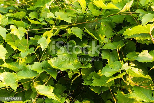 Green leaves of blue grapes, ripening grapes in the sun, leaf background