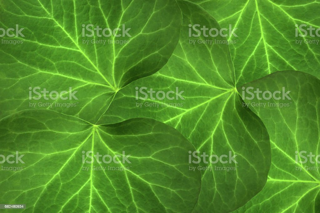 Green leaves of catalpas royalty-free stock photo