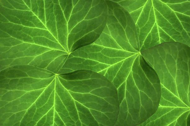 grüne blätter aus - trompetenbaum stock-fotos und bilder