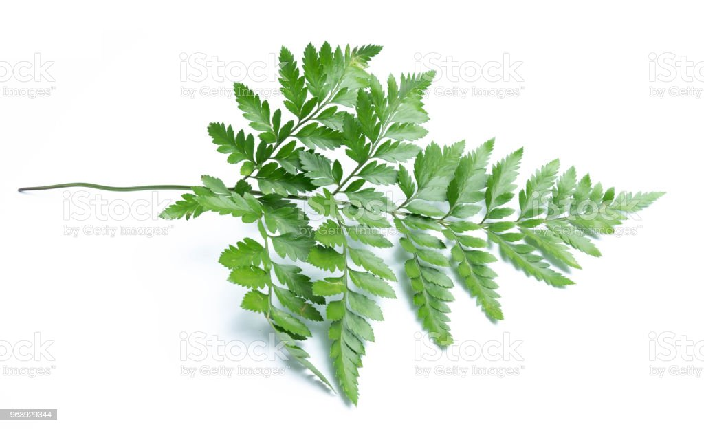 green leaves of fern isolated on white background - Royalty-free Botany Stock Photo