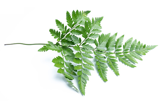 Green Leaves Of Fern Isolated On White Background Stock Photo - Download Image Now