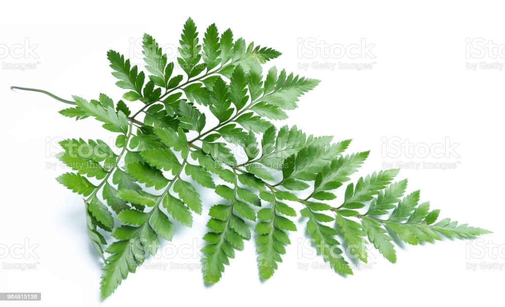 green leaves of fern isolated on white background royalty-free stock photo