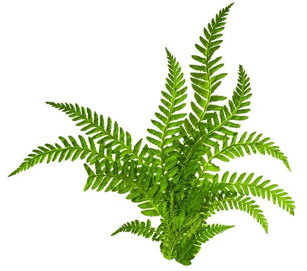 green leaves of fern isolated on white - varen stockfoto's en -beelden