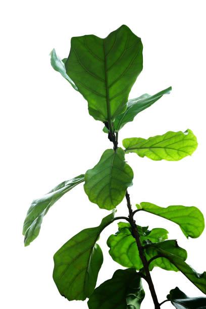 feuilles vertes de fiddle-feuille figuier (ficus lyrata) la plante tropicale arbre d'ornement populaire isolé sur fond blanc, un tracé de détourage inclus. - figue photos et images de collection