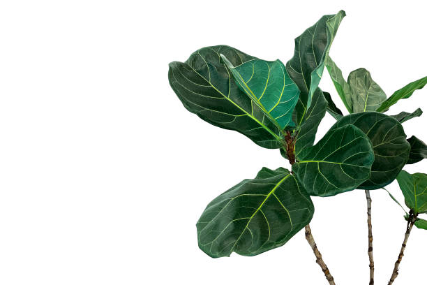 green leaves of fiddle-leaf fig tree (ficus lyrata) the popular ornamental tree tropical houseplant isolated on white background, clipping path included. - plants zdjęcia i obrazy z banku zdjęć