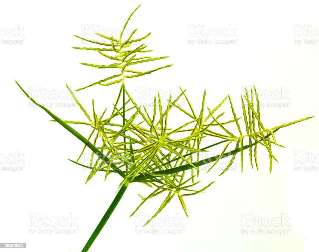Green leaves of grass isolated on a white background. stock photo
