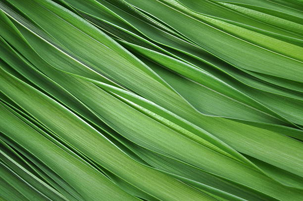 green leaves of lily - foliate pattern stock photos and pictures