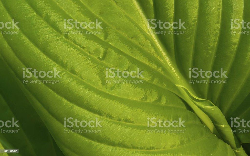 초록색 잎은 릴리 royalty-free 스톡 사진