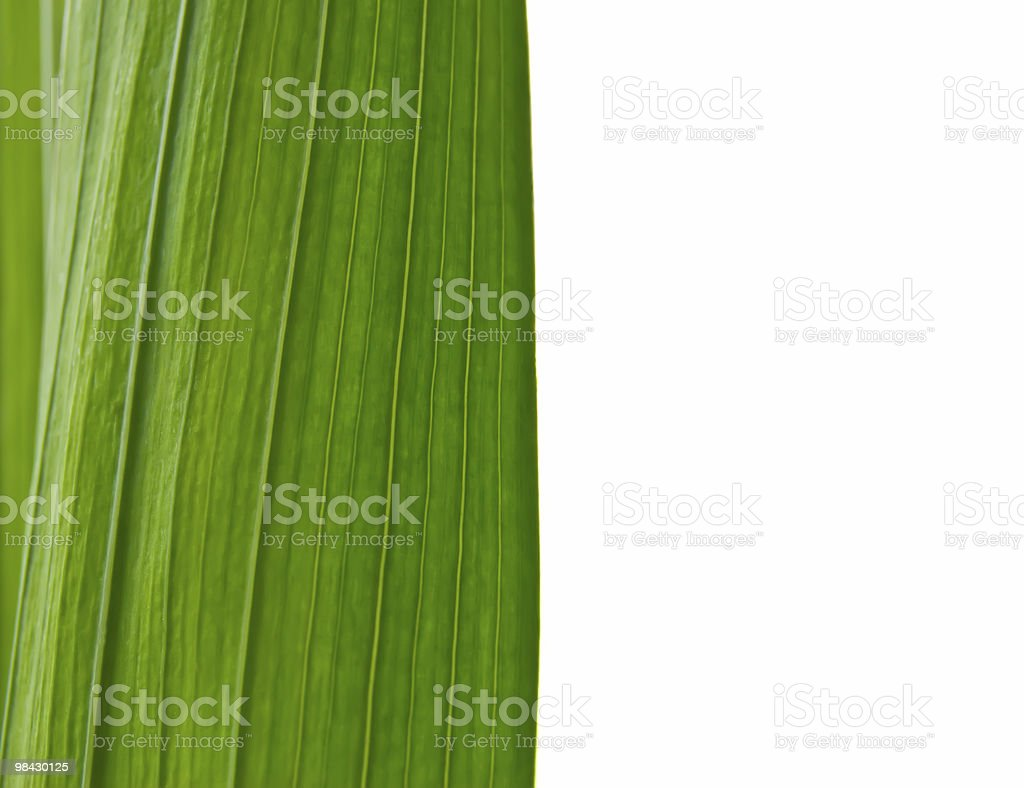 green leaves of lily royalty-free stock photo