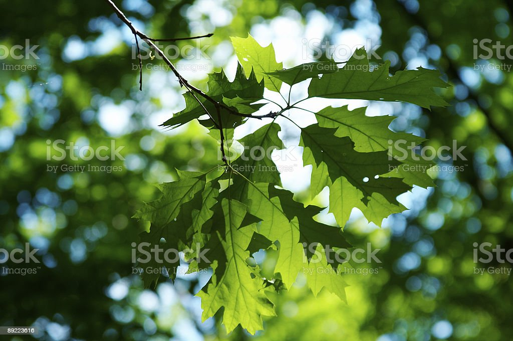 green leaves of maple royalty-free stock photo