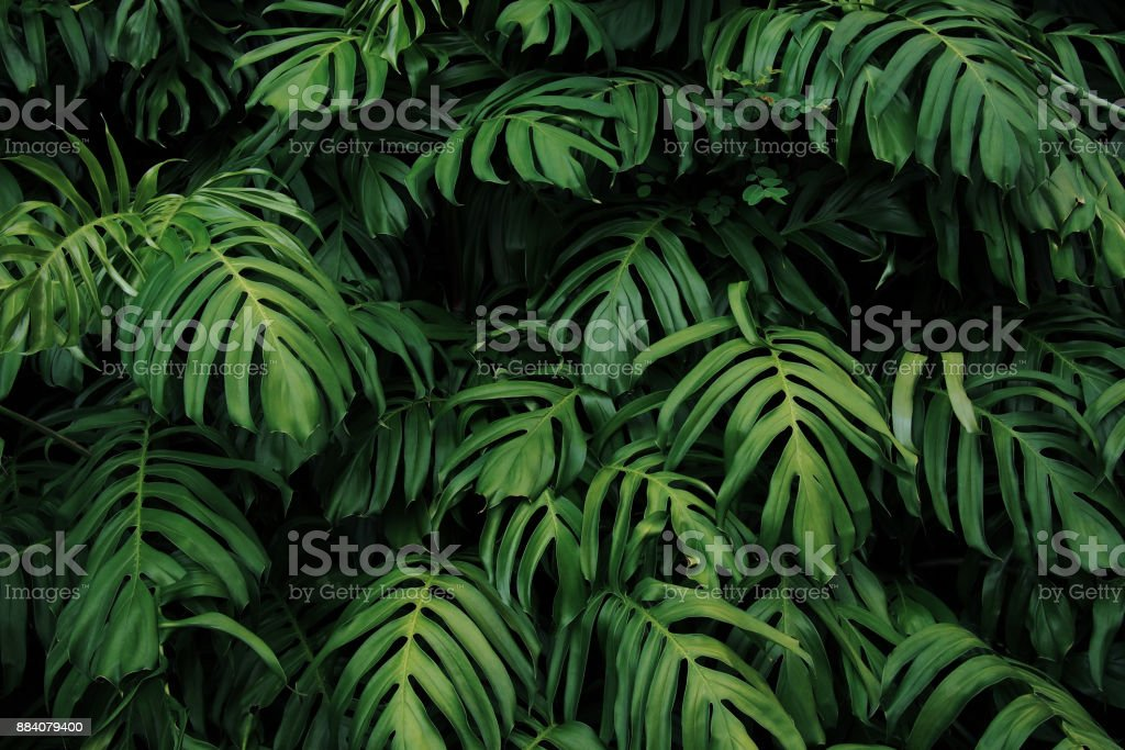 Green leaves of Monstera philodendron plant growing in wild, the tropical forest plant, evergreen vines abstract color on dark background.