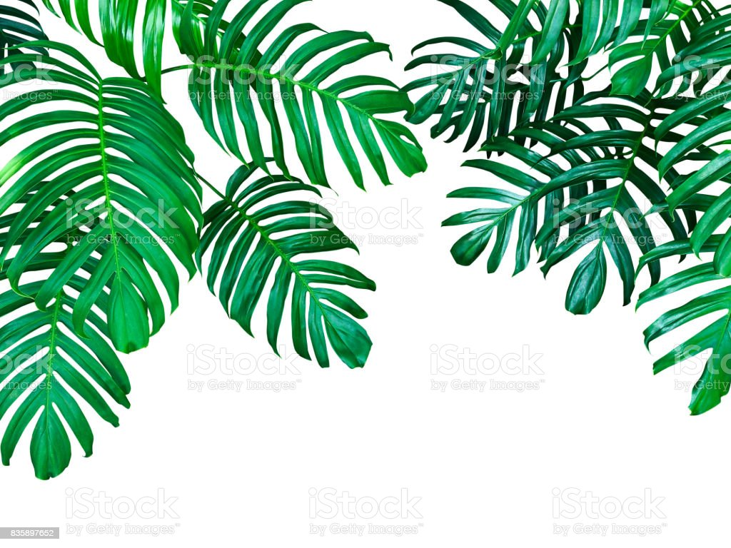 Green leaves of Monstera philodendron the tropical forest plant, evergreen vine isolated on white background, clipping path included. stock photo