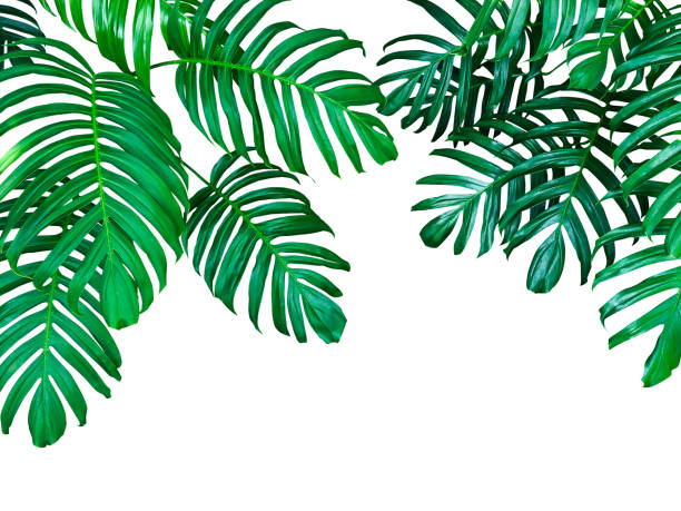 green leaves of monstera philodendron the tropical forest plant, evergreen vine isolated on white background, clipping path included. - tropical leaves stock photos and pictures