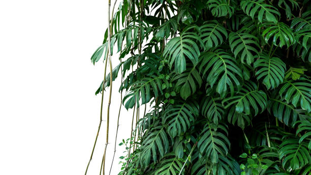 green leaves of native monstera (epipremnum pinnatum) liana plant growing in wild climbing on jungle tree, tropical forest plant evergreen vines bush isolated on white background with clipping path. - jungle стоковые фото и изображения