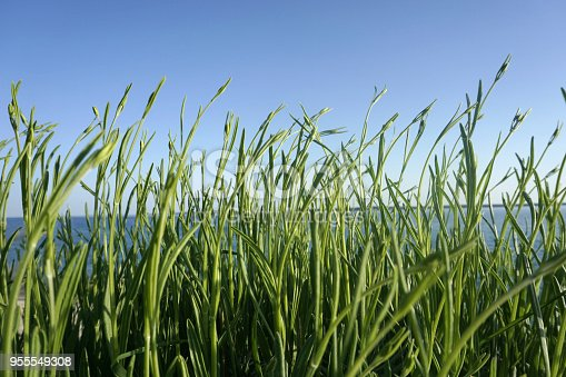 Green leaves of not flowering young lavender buds on the wind, by the sea and blue sky on the background on a sunny day