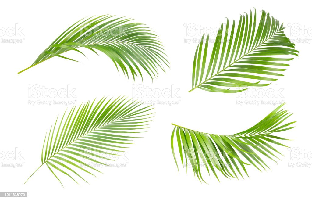 Green leaves of palm tree isolated on white background.The collection of trees green leaves of palm royalty-free stock photo