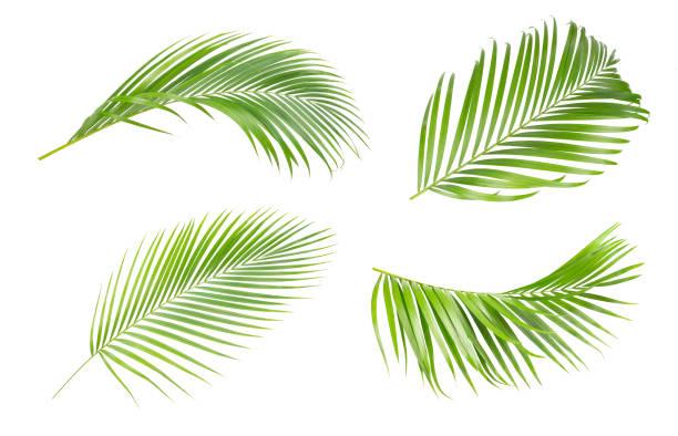 gröna blad i palmträdet isolerad på vit bakgrund. insamling av träden gröna blad av palm - palm bildbanksfoton och bilder