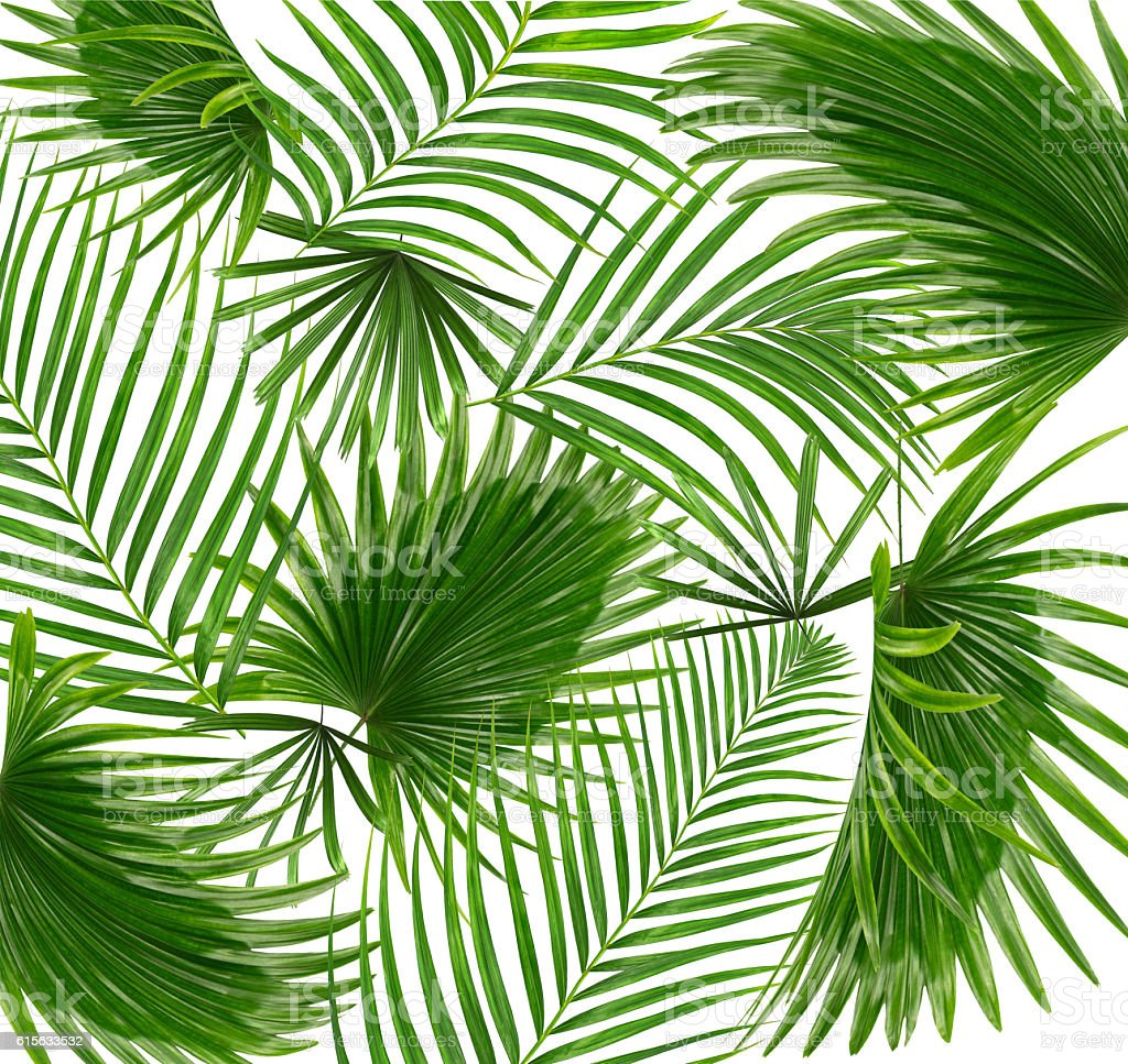 Green leaves of palm tree on white background stock photo
