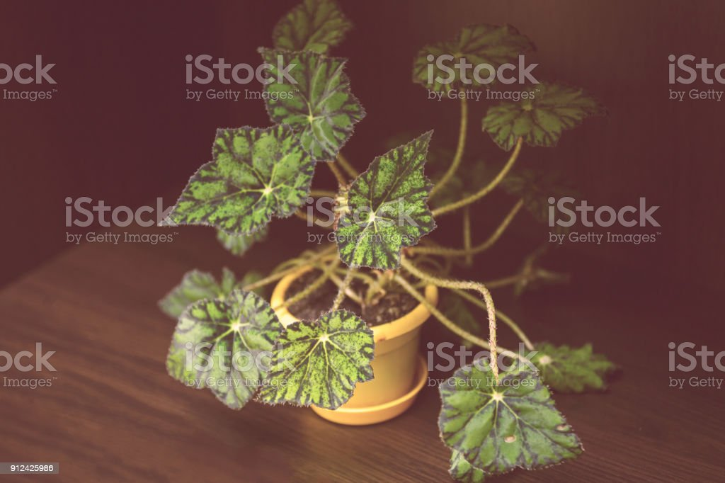 Green leaves of plant begonia rex putz commonly known as king begonia stock photo