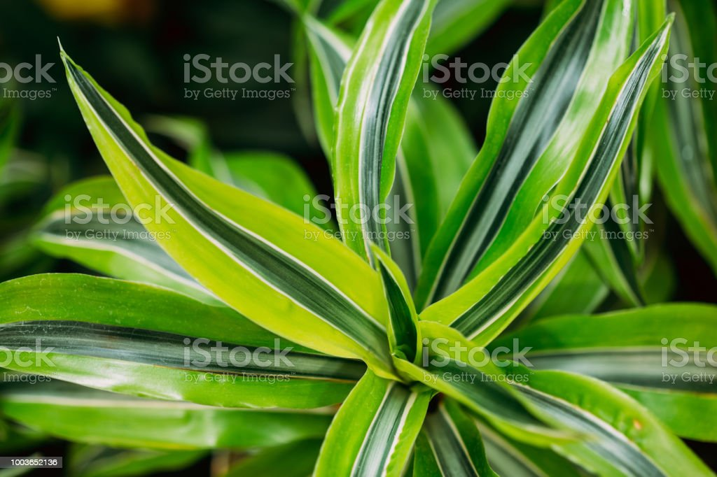 Green Leaves Of Plant Dracaena. Female Dragon Plant. Family Asparagaceae