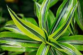 Green Leaves Of Plant Dracaena. Female Dragon Plant. Family Asparagaceae