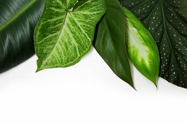 Green leaves of potted plants stock photo