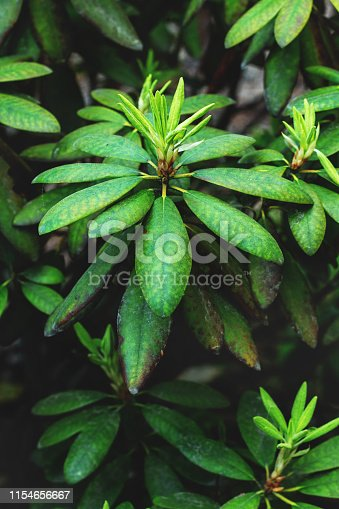 Rhododendron plant with green leaves Close-up. green floral background