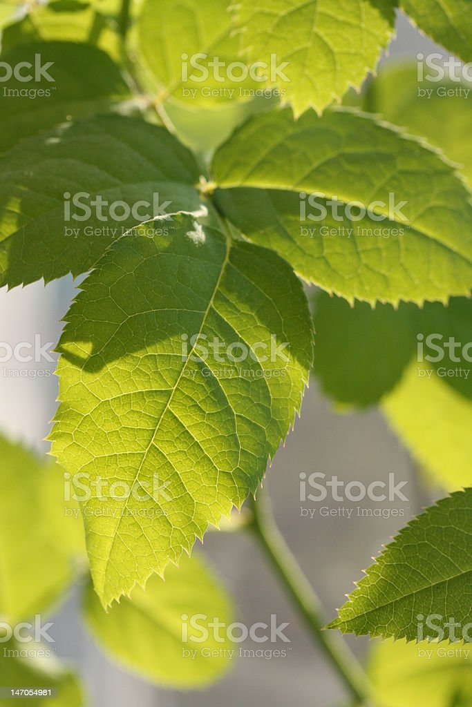 green leaves of rose royalty-free stock photo