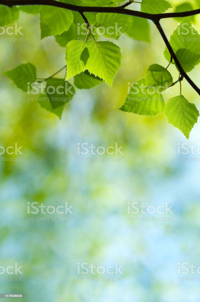 Green leaves of spring Birch royalty-free stock photo