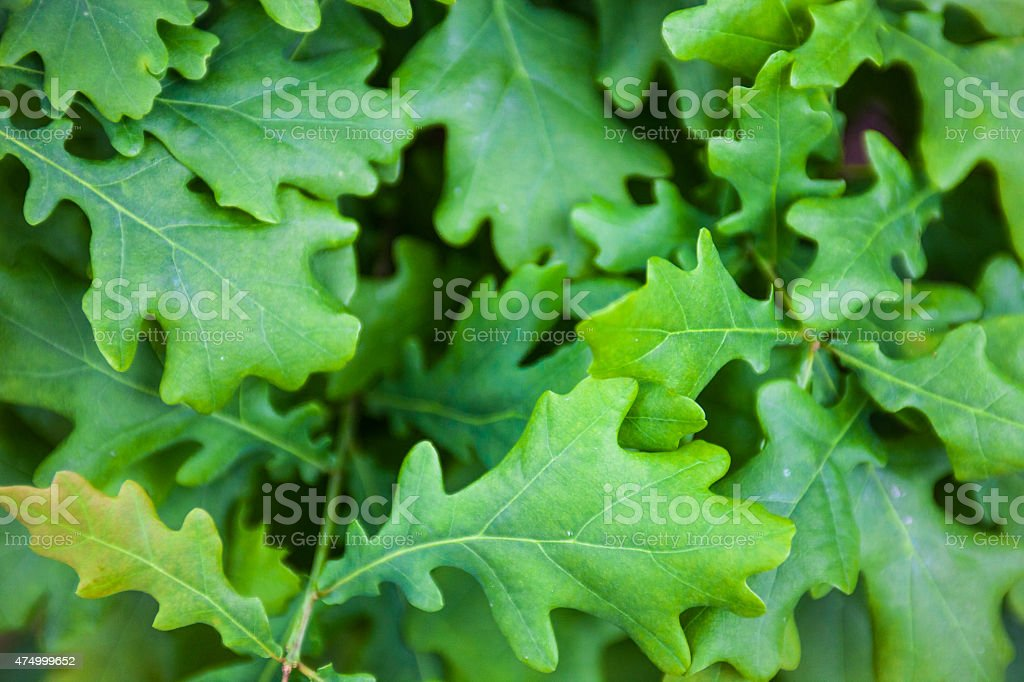 Green leaves of the oak tree stock photo
