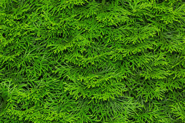 Green leaves of Thuja tree natural textured background. Close-up view. stock photo