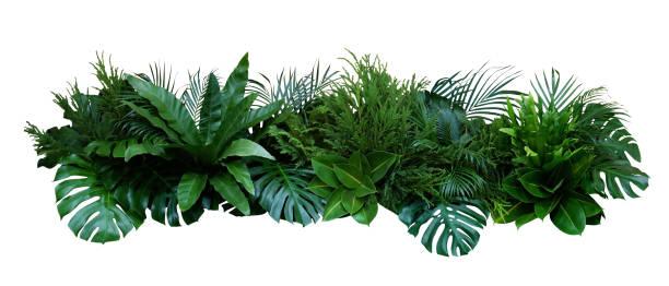 열대 식물 부시 (몬스터, 야자말, 고사리, 고무 식물, 소나무, 새 둥지 고사리)의 녹색 잎은 흰색 배경에 고립 된 실내 정원 자연 배경, 클리핑 경로가 포함되어 있습니다. - 꽃 식물 뉴스 사진 이미지