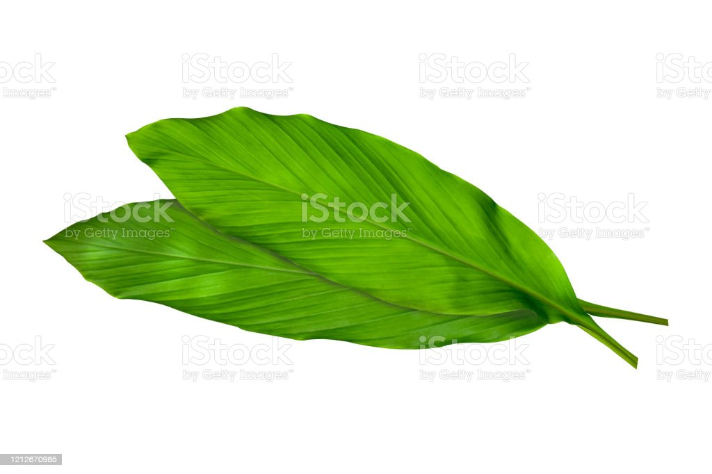 Green Leaves Of Turmeric Ginger Medicinal Herbal Plant Isolated On White Background Clipping Path Included Hd Image And Large Resolution Can Be Used As Wallpaper Stock Photo Download Image Now Istock