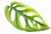 Green leaves of Window-Leaf. (Monstera obliqua (Miq.) Walp. 'Expilata'.)