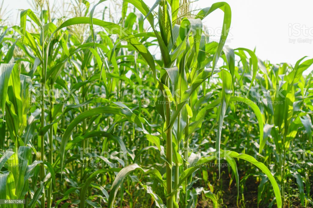 Green leaves of young corn in the field Green leaves of young corn in the field Agricultural Field Stock Photo