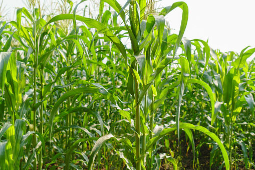 Green Leaves Of Young Corn In The Field Stock Photo - Download Image Now