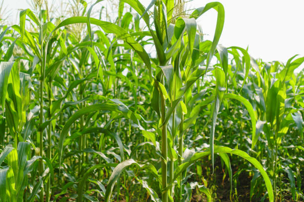 Green leaves of young corn in the field Green leaves of young corn in the field monoculture stock pictures, royalty-free photos & images