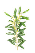Green leaves of olive tree isolated on white background