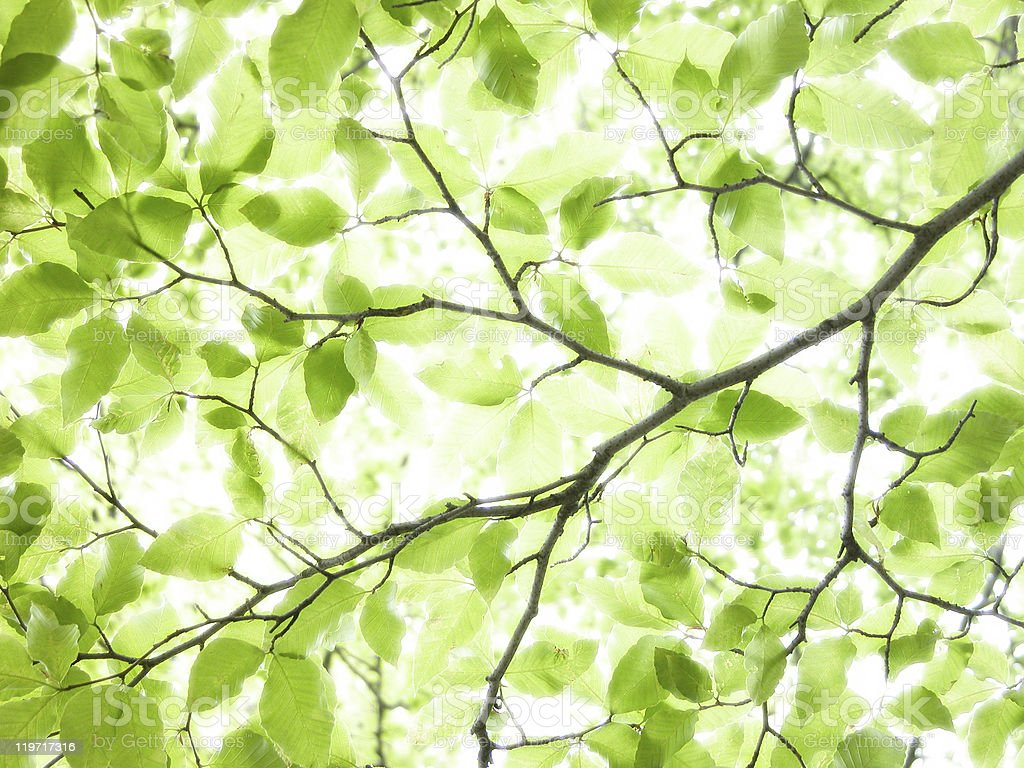 Green leaves on a beech tree with light filtering through stock photo