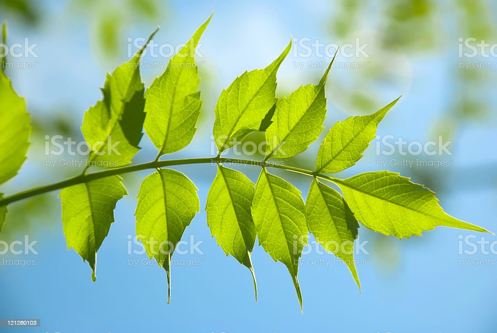 Green leaves on a branch royalty-free stock photo