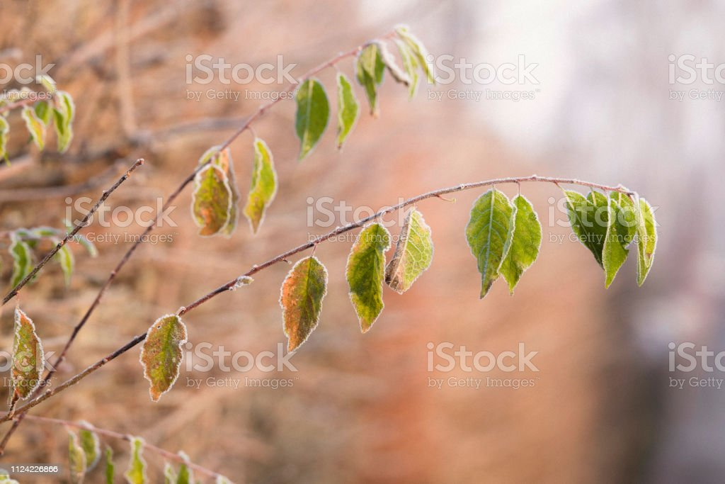 Green leaves on a small twig in the early winter stock photo